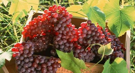 A szőlőben található rezveratrol szerepet játszhat az életkor meghosszabbításában.