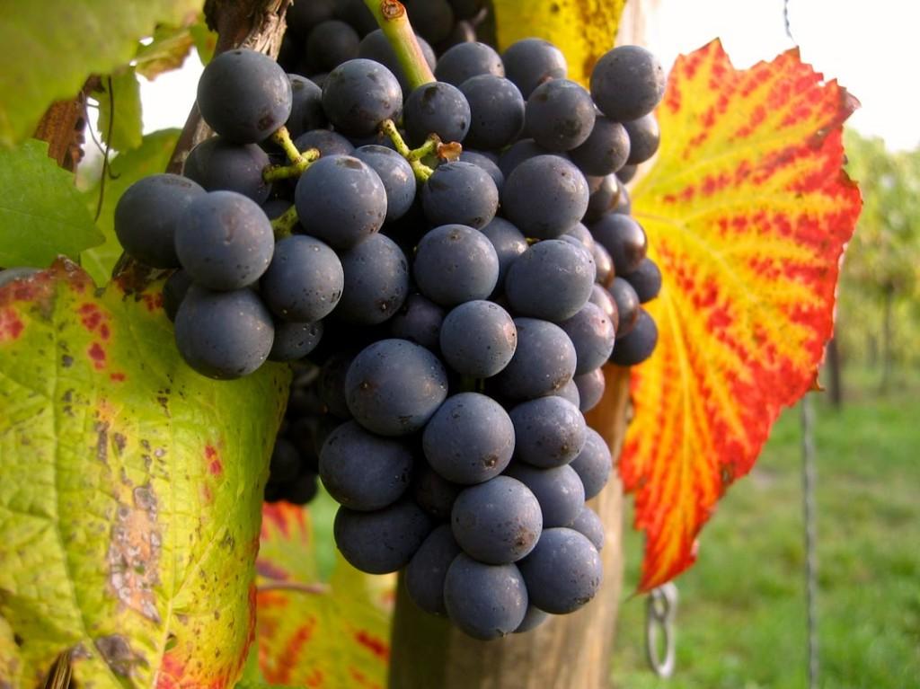 Miből lesz a minőségi vörösbor? A minőségi szőlőből!