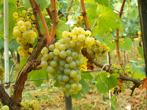 Minden, amit tudnod kell a chardonnay szőlő hatásáról