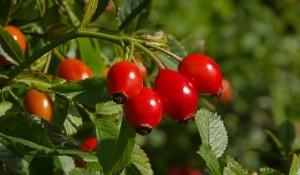 A csipkebogyó az egyik legnagyobb C-vitamint tartalmazó növény