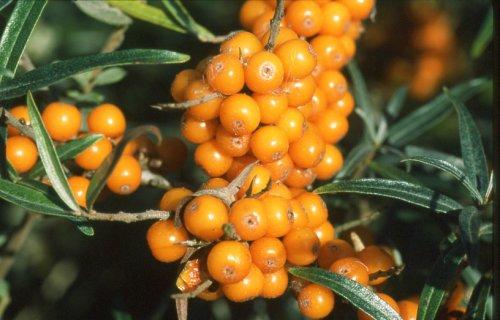 A homoktövis az egyik legjobb C-vitamin forrás
