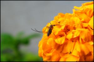 Természetes szúnyogriasztó a kellemetlen szúnyogcsípések elkerülése érdekében