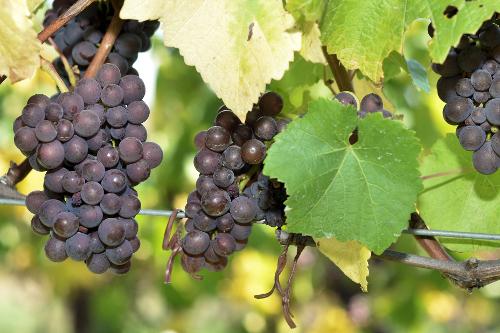 Resveratrol – a szőlőbe zárt csoda